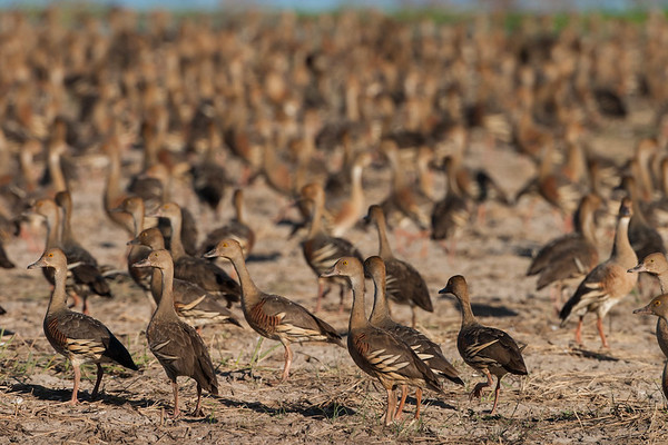Plumed Whistling Ducks<br /> Lakefield National Park, QLD, Australia