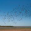 Plumed Whistling Ducks<br /> Lakefield National Park, QLD, Australia
