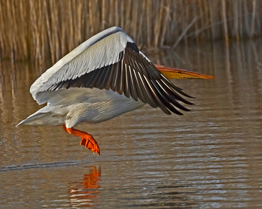 Taking Off., White Pelican