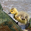 Gosling - May 2009, NJ
