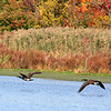 Canada Geese - Celery Farm, NJ - Oct 2008