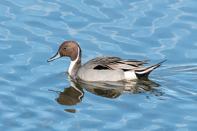 Pin-tailed duck-5896