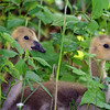 Goslings - May 2009, NJ