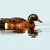 Male Chestnut Teal (Anas castanea)