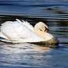 Mute Swan - Celery Farm, NJ - Oct 2008