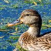 Mallard - Celery Farm, NJ - Oct 2008