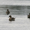 Northern Pintail Ducks - Sept 2009, DeKorte Park, NJ