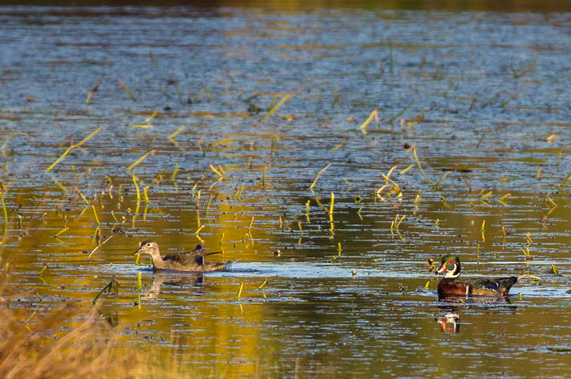 Wood Ducks - Harriman SP, Oct 2016