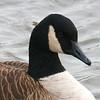 Canada Goose - Dec 2008