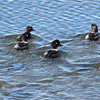 Barrow's Goldeneye - Yellowstone Lake, Aug 2011