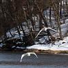 Mute Swans - Feb 2011, Croton Park, NY