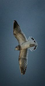 Mew Gull -  transitioning to 2nd winter