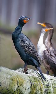Pelagic Cormorant in breeding plumage.  Immature Double-crested Cormorants on the right.