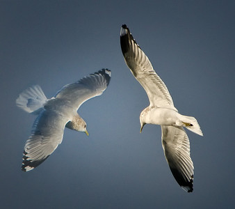 Mew Gull: Composite of two photos of the same bird.