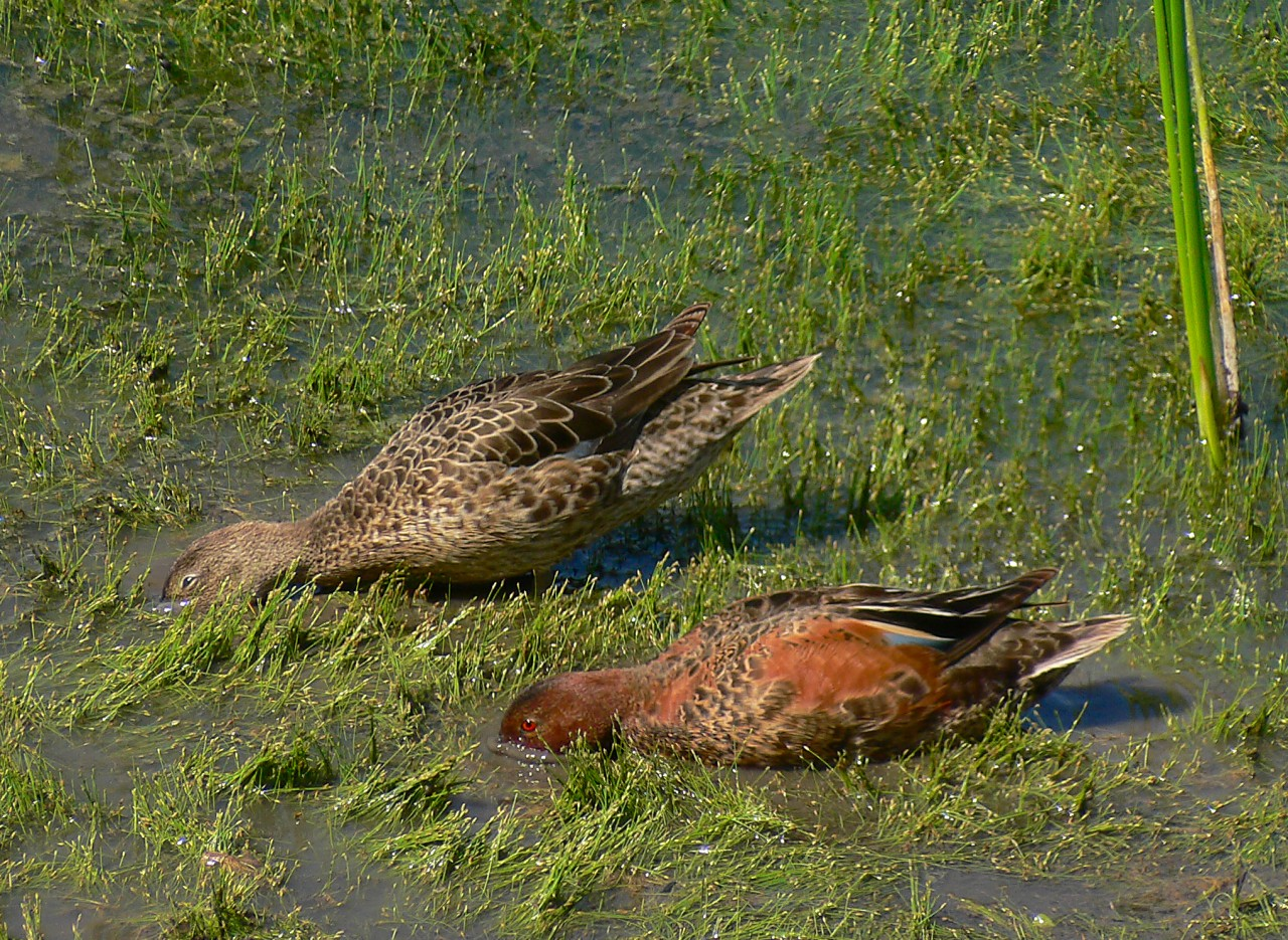 Cinnamon Teal Pair Feeding