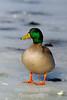 Duck mallard