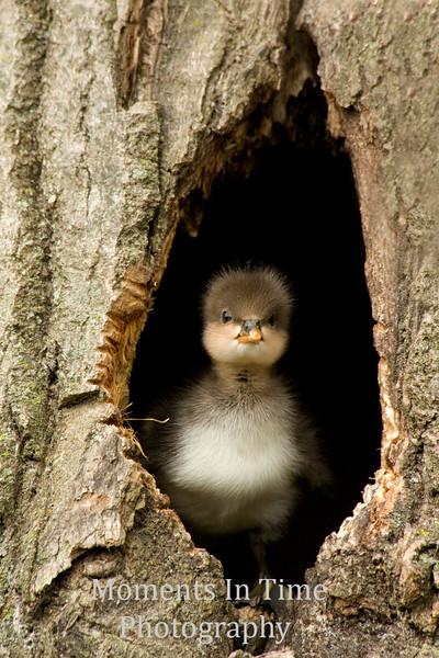 Hoodie duckling in tree hole V