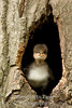 Hoodie duckling in tree hole V