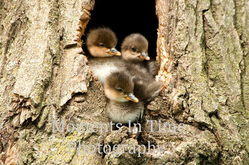 3 ducklings in tree