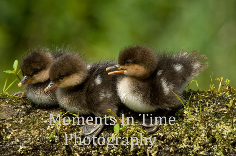 Three ducklings on log