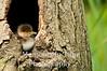 Hoodie duckling in tree