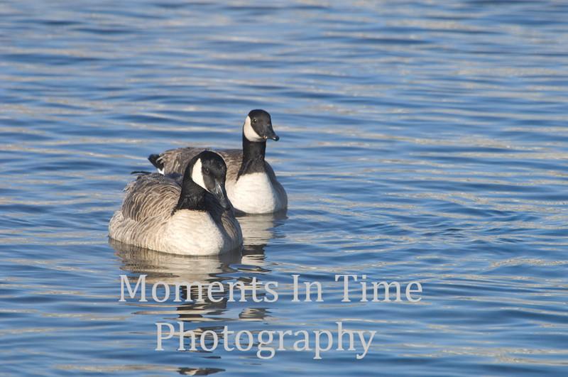 Goose pair swiming