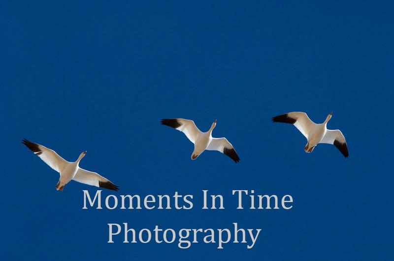 Snow goose trio in flight