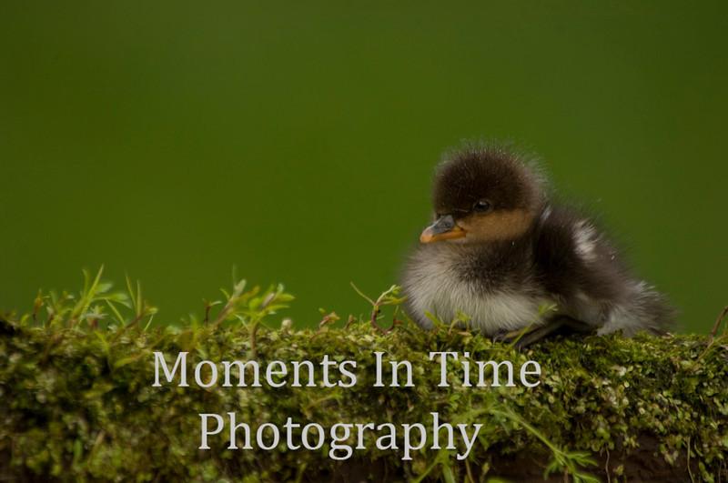 Hoodie duckling on log