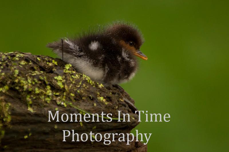 Merganzer duckling
