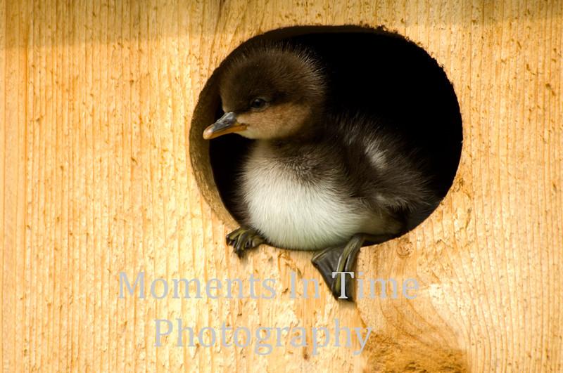 Duckling in duck house