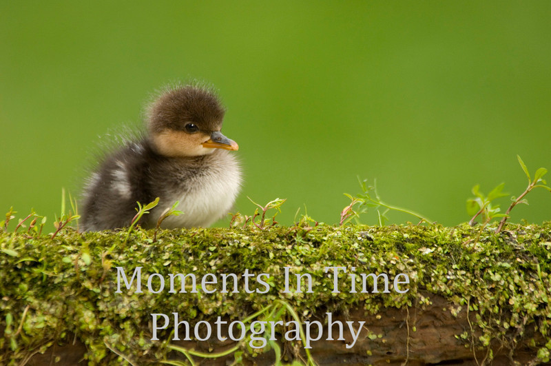 Solo duckling on log
