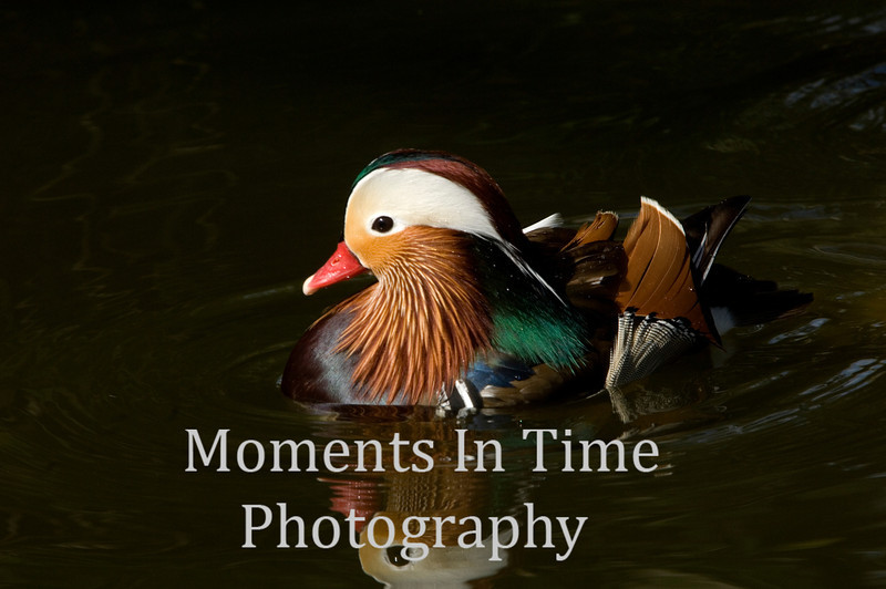 Duck mandarin