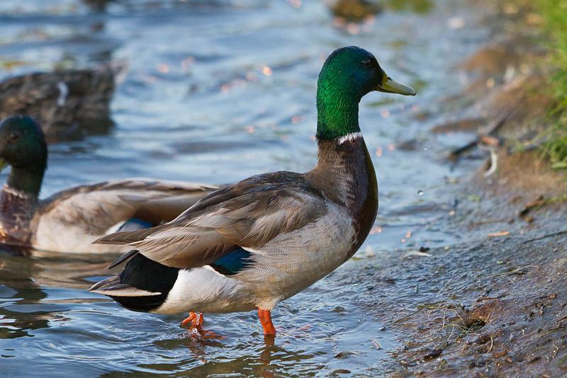 Ducks at Gillies Lake in Timmins
