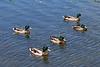 Ducks at Gillies Lake in Timmins 2011 June 19th.