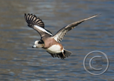 Wigeon Winging Away