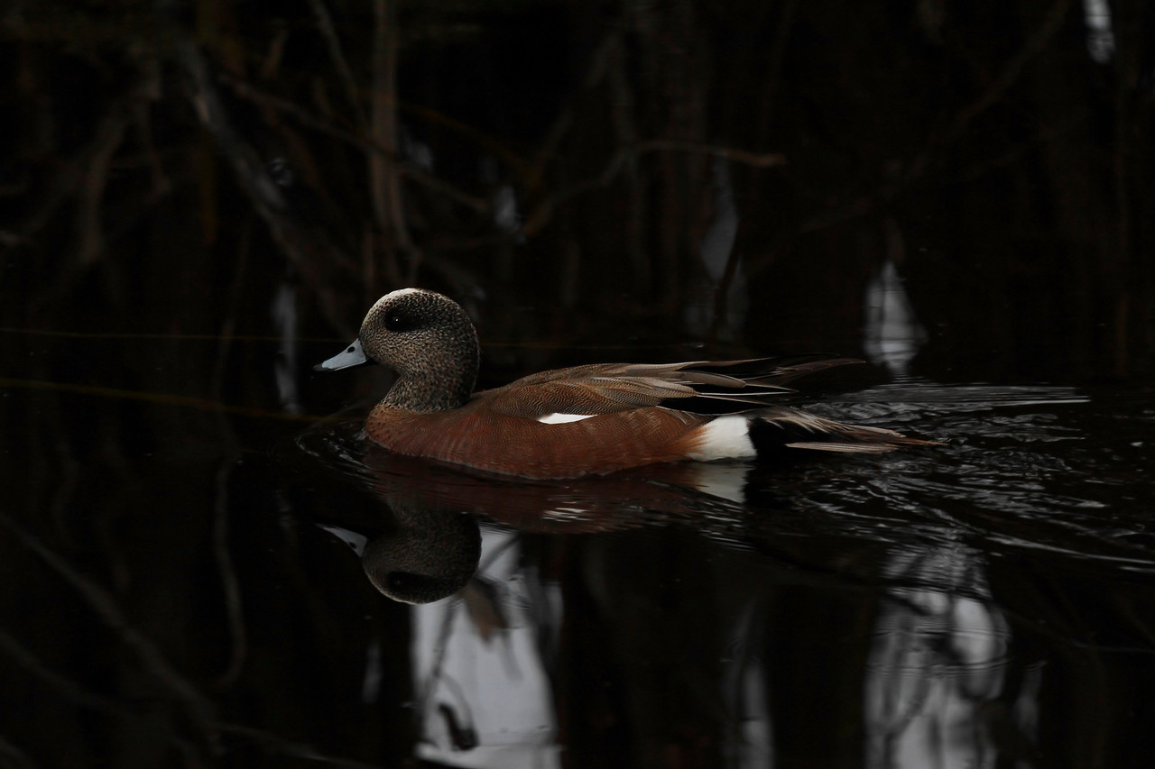 American Wigeon Male