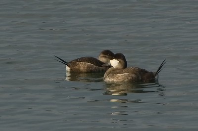 Ducks (incl. Coots)