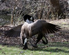Canada Goose @ Greenlawn Cemetery - March 2010