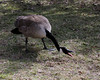 Canada Goose @ Greenlawn Cemetery - March 2010