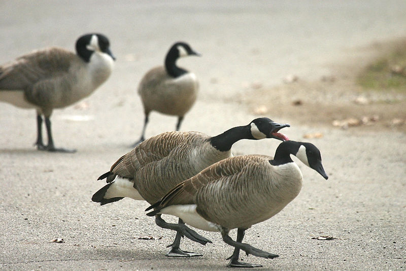 Canada Geese @ Greenlawn Cemetery - March 2006