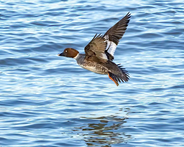 Common Goldeneye flies across the Water