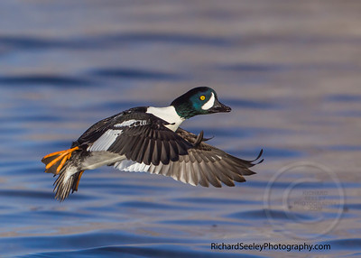 Goldeneye Gaining Ground