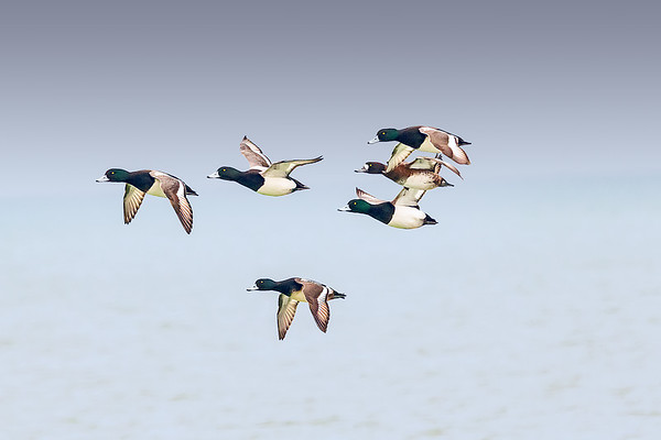 Greater Scaup In Flight