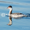 Grebe in afternoon light, calm harbor.