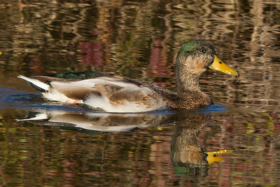 Mallard male hybrid duck with fall reflections in the water