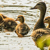 """Female Mallard and Ducklings - """"Time to move on"""""""