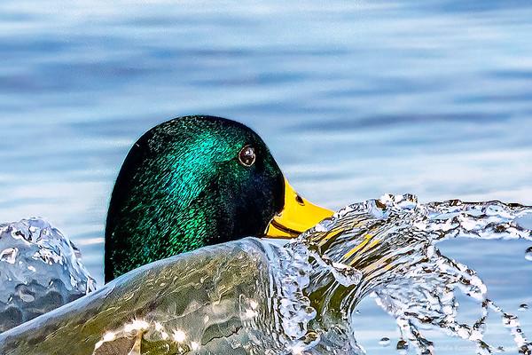 """Male Mallard  - """"Splash Down"""""""