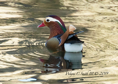Rare Mandarin Duck in the Wild
