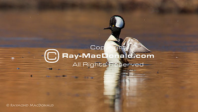 IMGL8376   Hooded Merganser in a mid-morning stretch at Jenney Grist Mill Pond.