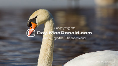 IMGL7898  Curious Swan swims by for a closer look.